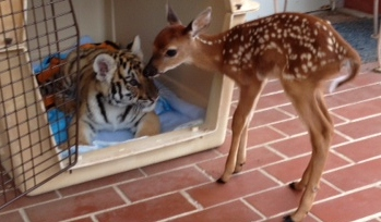 Unlikely Friends - tiger & Fawn