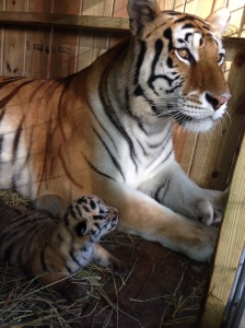 Life of two tiger cubs and the people in their lives